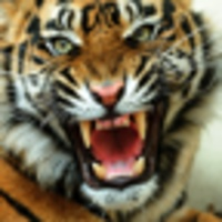 Angry Tiger android app icon